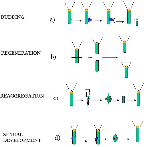 1. Hydra as a model system