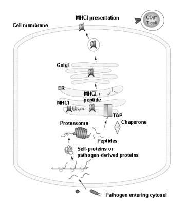 monocytes élèves dans le sang