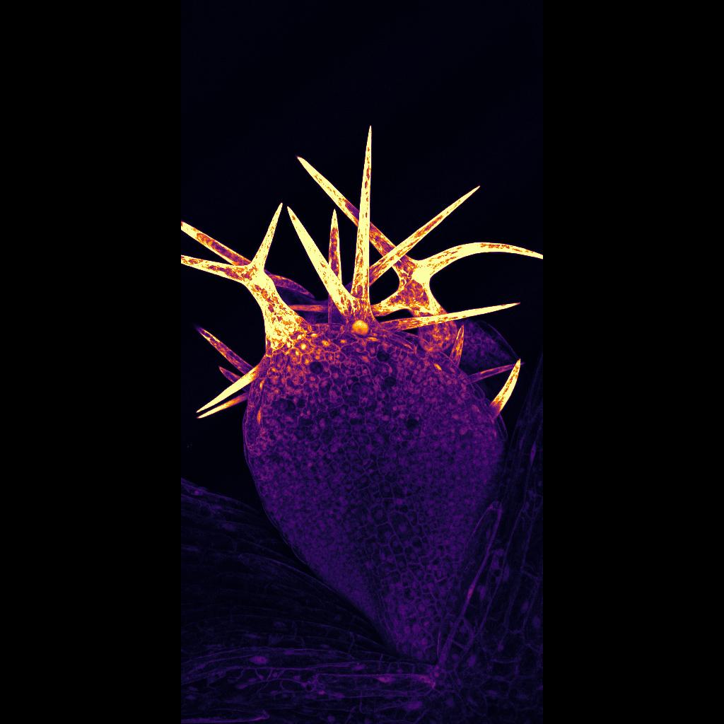 September 2021 - Jacquier -  Trichomes on Arabidopsis thaliana seedling