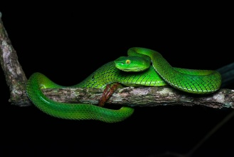 Trimeresurus_gumprechti_blackbackground.jpg