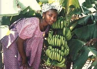 récolte des bananes en Gambie - © FAO